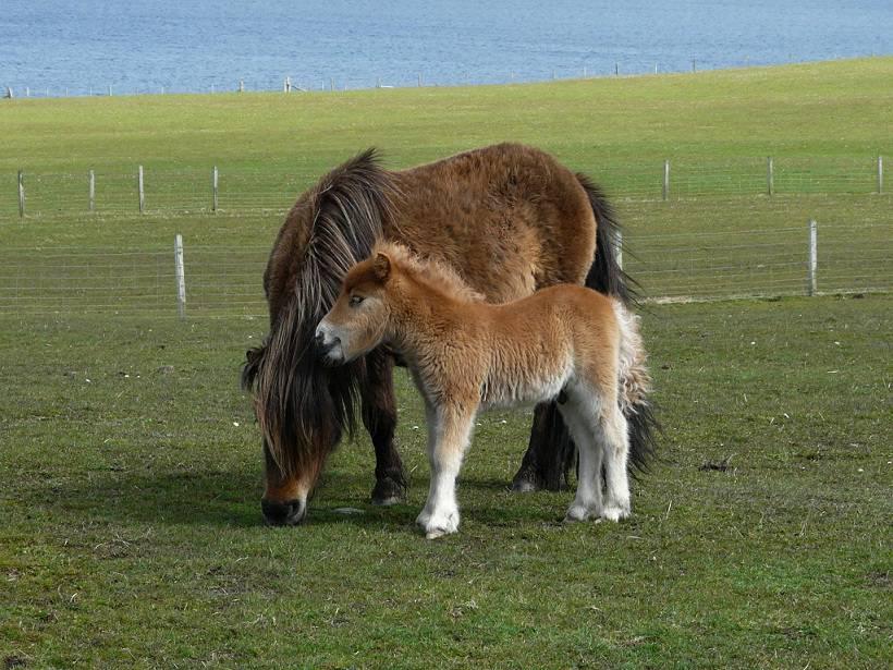 Natuurlijk zijn er Shetland pony's op de Shetland eilanden